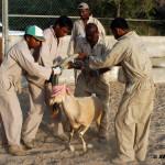 Restraining of Nubian Ibex
