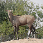 Nilgai Antelope / Boselaphus tragocamelus