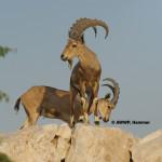 Nubian Ibex / Capra ibex nubiana