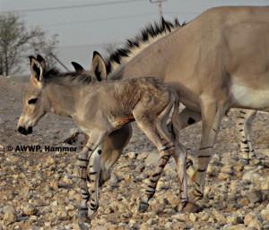 Newborn_Somali_Wildass_Foal_02