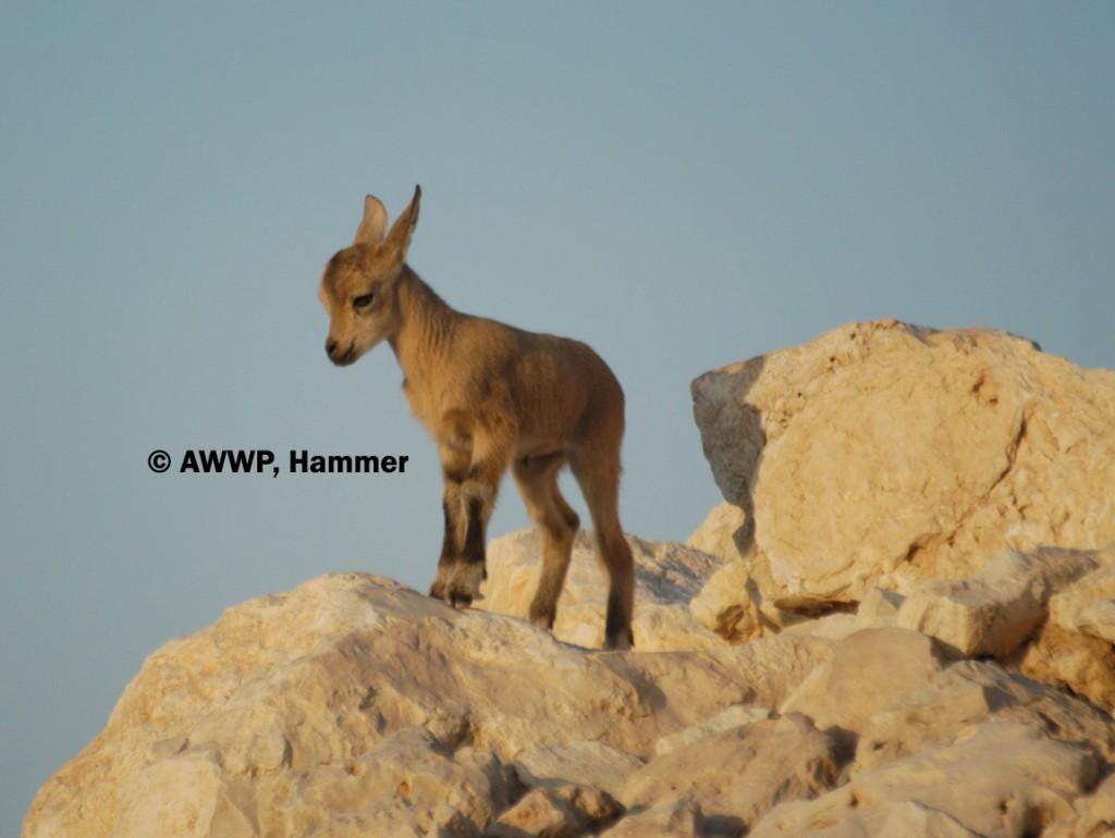Nubian_Ibex_Lamb_01