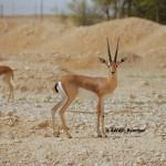 Pelzelns Gazelle / Gazella pelzelni
