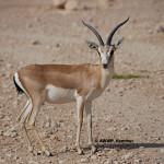 Persian Goitered Gazelle / Gazella subgutturosa subgutturosa