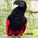Pesquet's Parrot / Psittrichas fulgidus