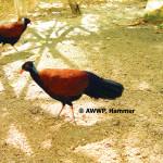 Pheasant Pigeon / Otidiphaps nobilis nobilis