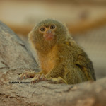 Pygmy Marmoset / Cebuella pygmaea