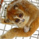 Pygmy Slow Loris / Nycticebus pygmaeus