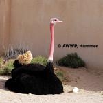 Red-necked Ostrich / Struthio camelus camelus