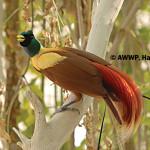 Red Bird of Paradise / Paradisaea rubra