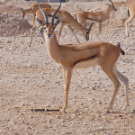 RED_FRONTED_GAZELLE_Gazella_rufifrons_01.jpg Red Fronted Gazelle / Gazella rufifrons