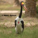 Saddlebill Stork / Ephippiorhynchus senegalensis
