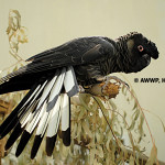Short-billed Black Cockatoo / Calyptorhynchus latirostris