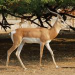 Soemmering Gazelle / Gazella soemmeringi berberana