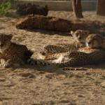 Somali Cheetah / Acinonyx jubatus