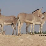 Somali Wild Ass / Equus africanus somalicus