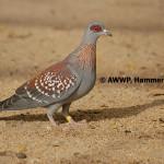 Speckled Pigeon / Columba guinea