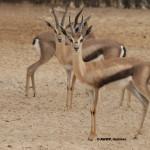 Spekes Gazelle / Gazella spekei