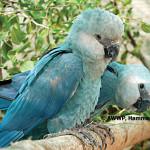 Spix's Macaw / Cyanopsitta spixii