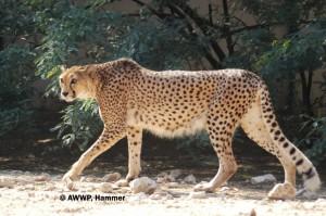Somali_Cheetah_Female_02