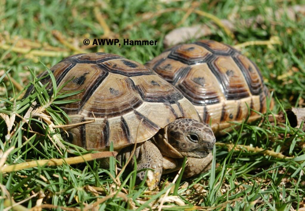Spur_Tighed_Tortoises_01