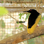 Twelve-wire Bird of Paradise / Seleucidis melanoleuca
