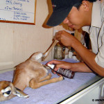 Treatment of Baby Gerenuk (Mr. Ferdi)