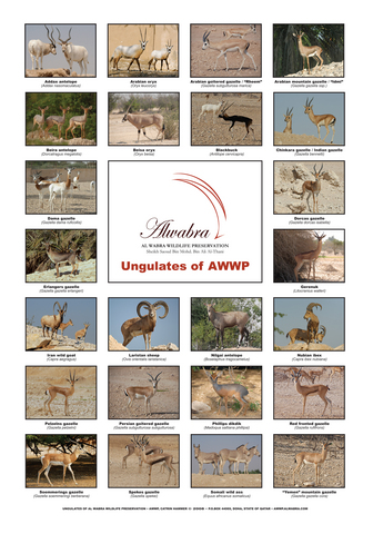 Ungulate_Poster_A4.resized