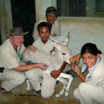 Somali Wild Ass Foal Newborn Treatment