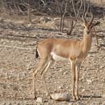 Yemen Mountain Gazelle / Gazella gazella cora