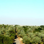 Date Palms Plantation